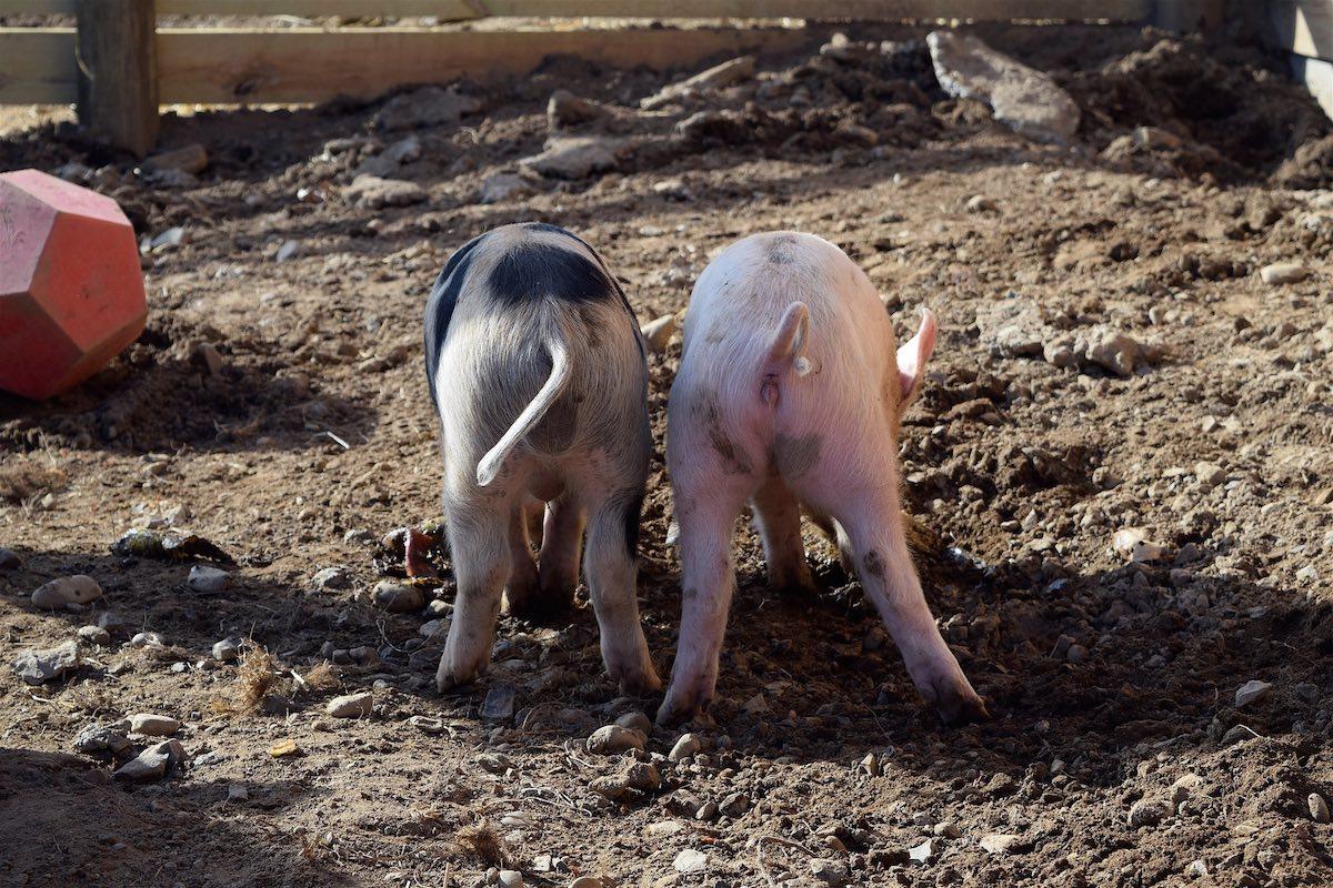 sennett-media-back-end-pig-tails